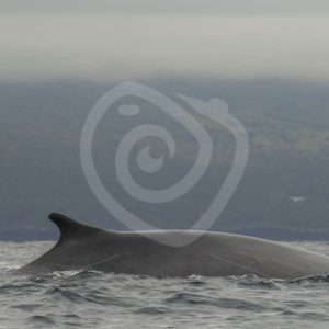 Fin whale near the shore of Lajes - Nature Stock Photo Agency