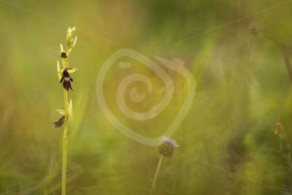 Fly orchid in the south of Belgium - Nature Stock Photo Agency