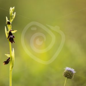 Fly orchid near the Viroin region, Belgium - Nature Stock Photo Agency