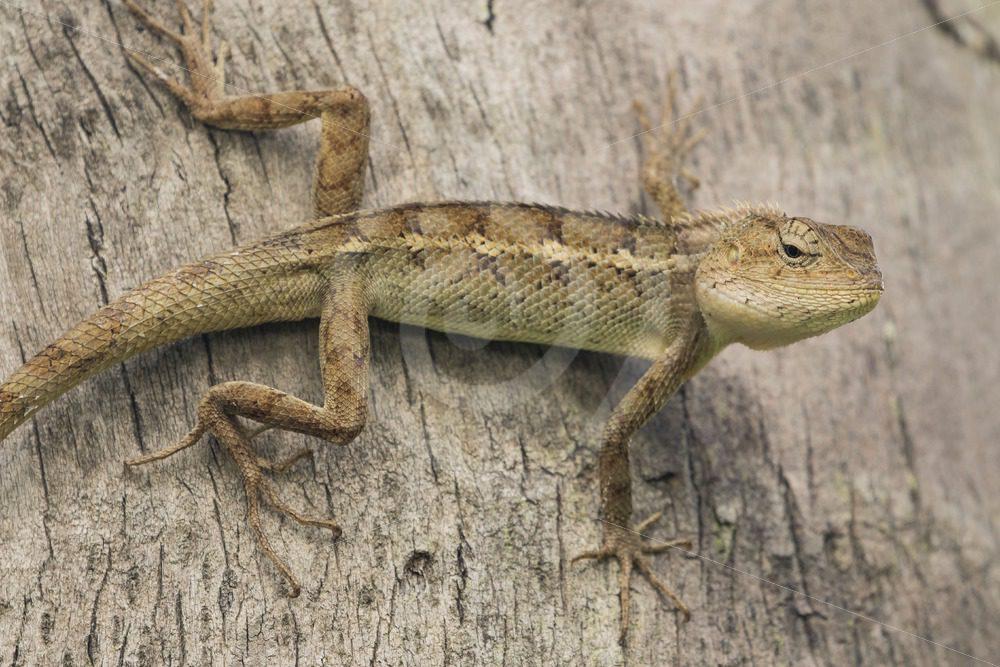 Garden lizard sideways on a tree - Nature Stock Photo Agency