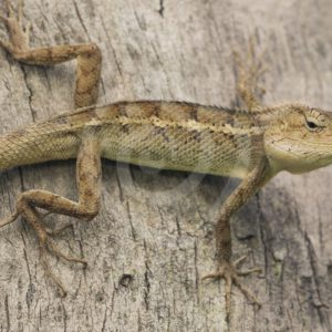 Garden lizard sideways on a tree - Nature Stock Photo Agency