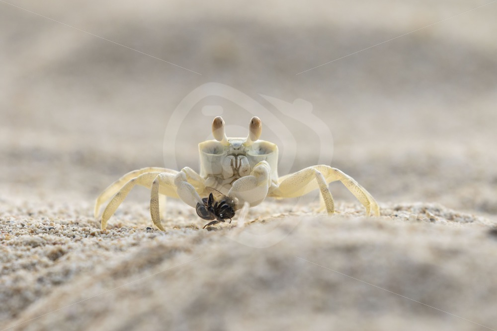 Ghost crab caught a bee - Nature Stock Photo Agency