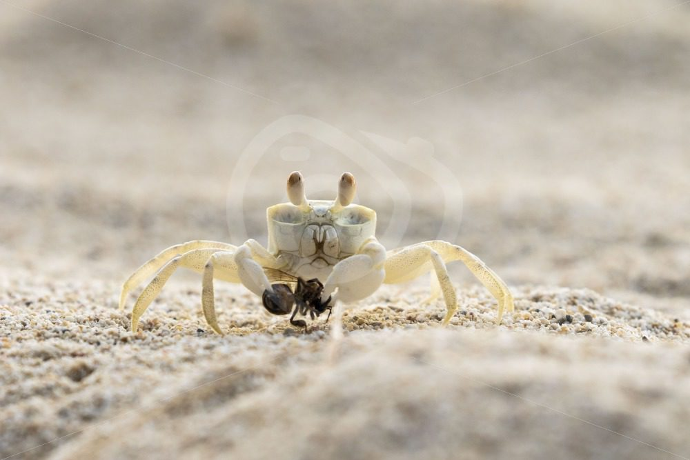 Ghost crab caught a sand bee - Nature Stock Photo Agency