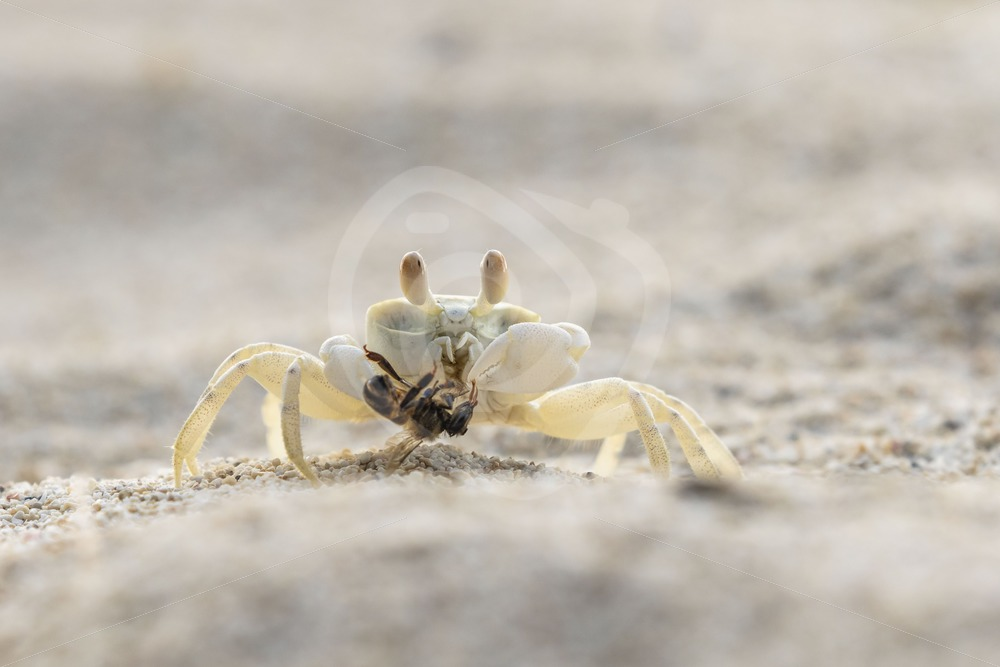 Ghost crab eating a bee - Nature Stock Photo Agency