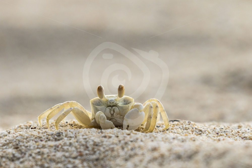Ghost crab looking for a prey on the beach - Nature Stock Photo Agency