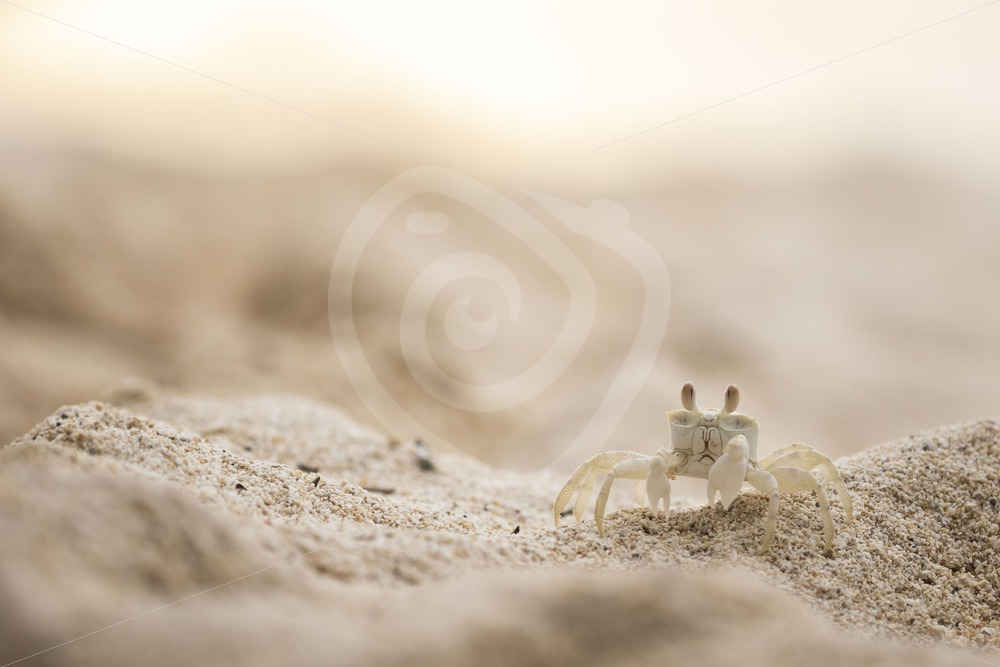 Ghost crab near his shelter - Nature Stock Photo Agency