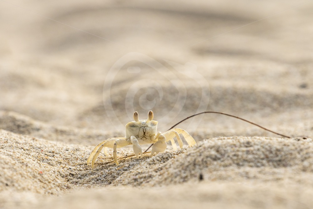 Ghost crab on the beach - Nature Stock Photo Agency