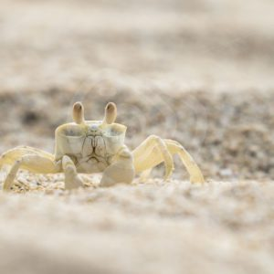Ghost crab on the lookout - Nature Stock Photo Agency