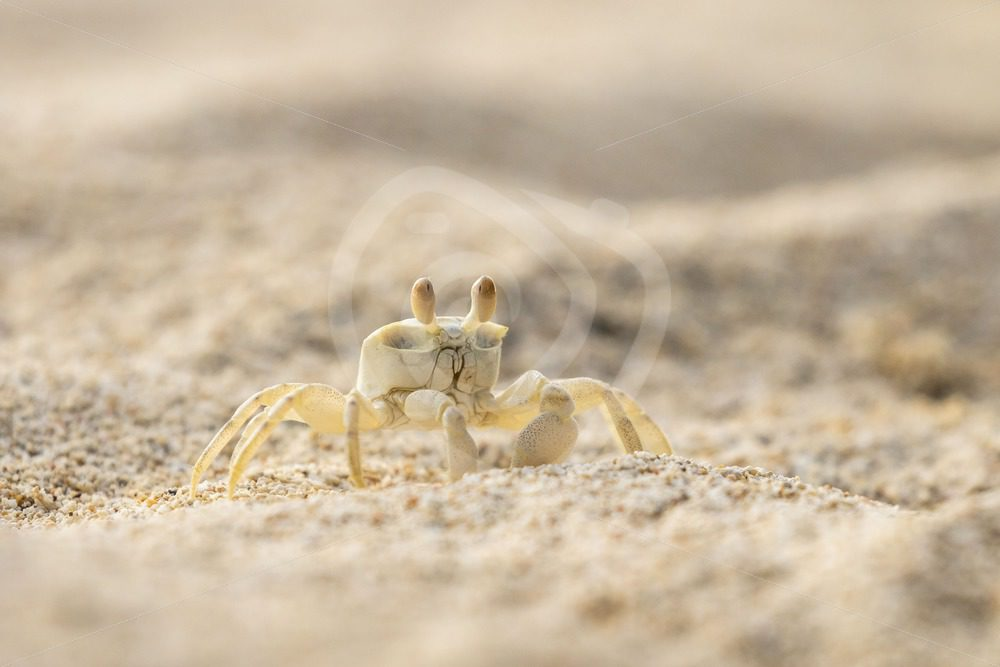 Ghost crab walking walking the beach - Nature Stock Photo Agency