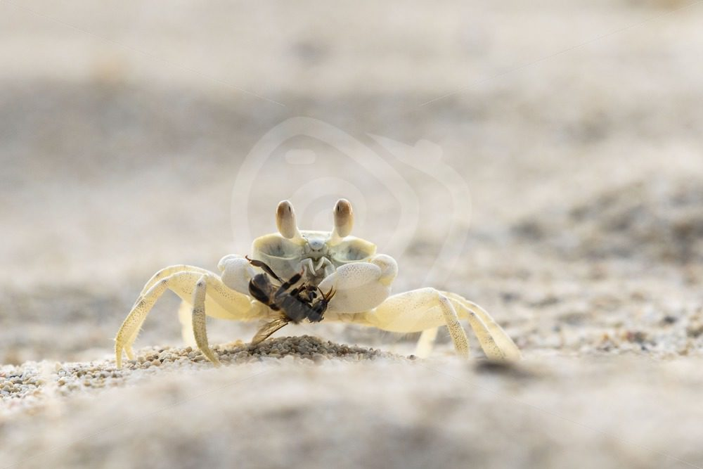 Ghost crab with a bee - Nature Stock Photo Agency