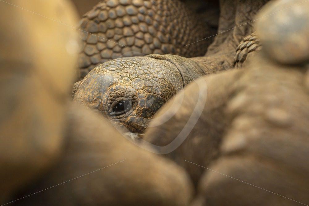 Giant Aldabra tortoise - Nature Stock Photo Agency
