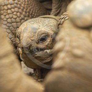 Giant Aldabra tortoise depth of field - Nature Stock Photo Agency