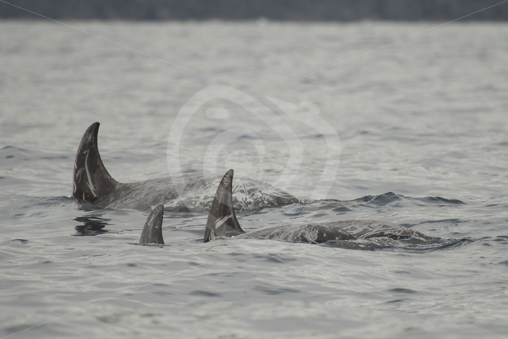 Group of Risso's dolphins - Nature Stock Photo Agency