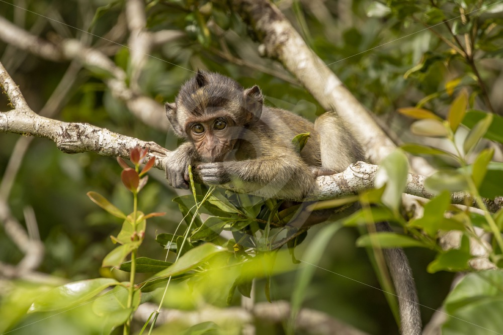 Juvenile long-tailed macaque in a tree - Nature Stock Photo Agency