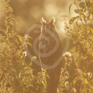 Long-eared owl in evening sunset - Nature Stock Photo Agency