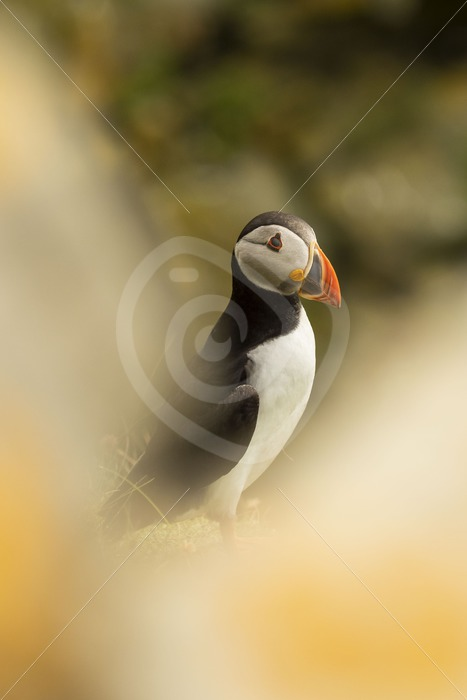 Looking through the bushes for a puffin - Nature Stock Photo Agency