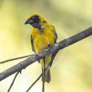 Male village weaver on a branch - Nature Stock Photo Agency