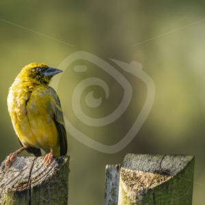 Male village weaver on a pole - Nature Stock Photo Agency