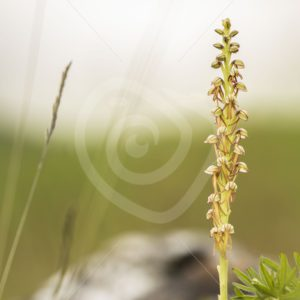 Man orchid in the south of Belgium - Nature Stock Photo Agency