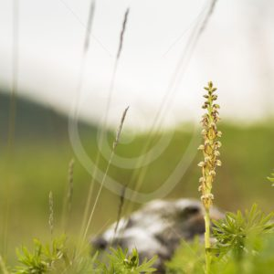 Man orchid scenery - Nature Stock Photo Agency