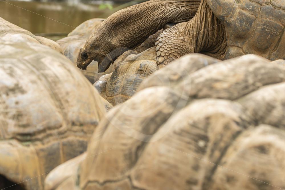 Mating giant Aldabra tortoises - Nature Stock Photo Agency