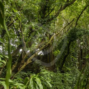 Mauritian rain forest - Nature Stock Photo Agency