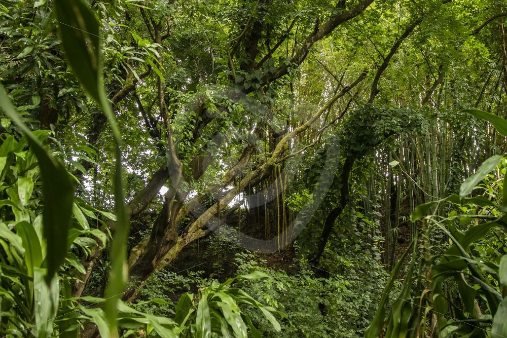 Mauritian rain forest - Nature Stock Photo Agency