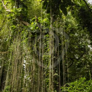 Mauritian rainforest - Nature Stock Photo Agency