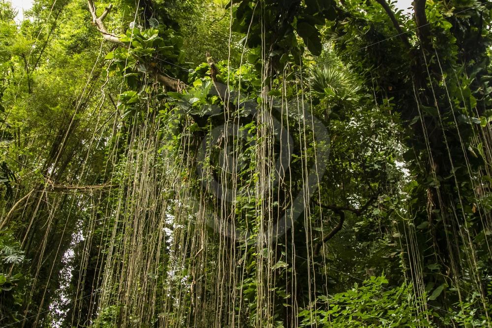 Mauritian rainforest - Nature Stock Photo Agency