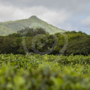 Mauritian tea plantation landscape - Nature Stock Photo Agency
