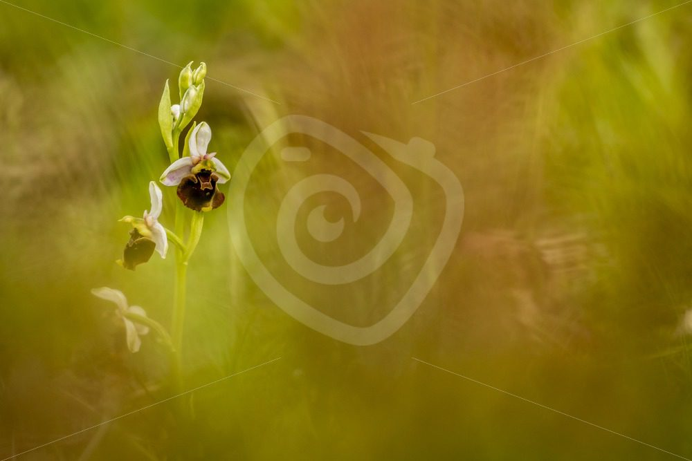 Orchis Apifera with a bokeh effect - Nature Stock Photo Agency