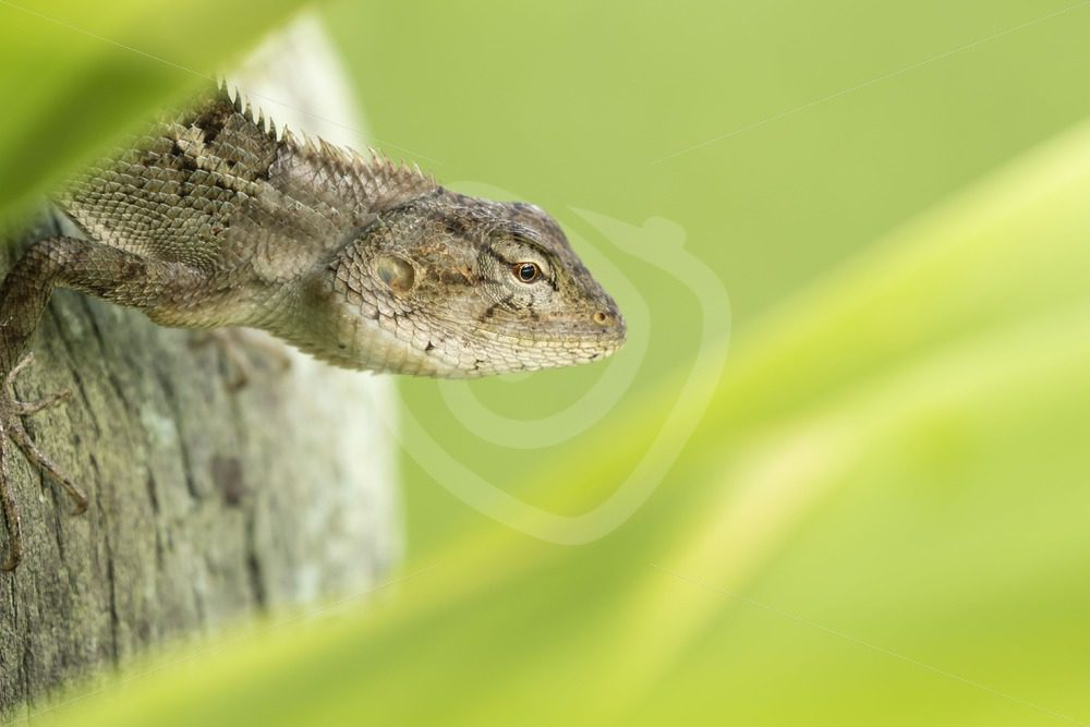 Oriental garden lizard in between leaves - Nature Stock Photo Agency