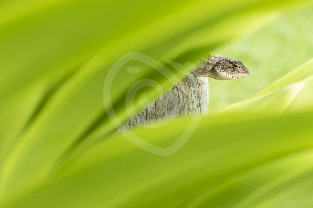 Oriental garden lizard through the leaves - Nature Stock Photo Agency