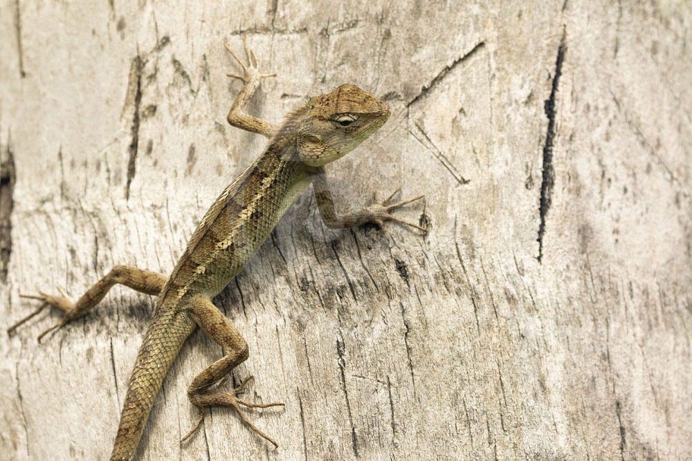 Oriental lizard climbing in a tree - Nature Stock Photo Agency