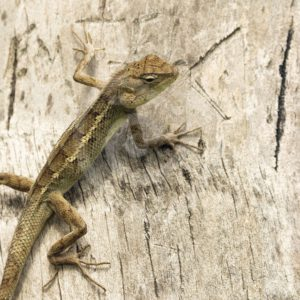 Oriental lizard climbing in a tree - Nature Stock Photo Agency