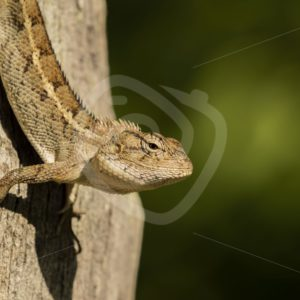 Oriental lizard sunbathing on a tree - Nature Stock Photo Agency