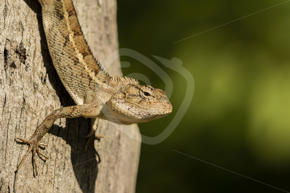 Oriental lizard sunbathing on a tree - Nature Stock Photo Agency