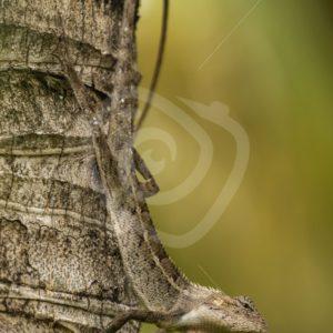 Oriental lizard upside down on a tree - Nature Stock Photo Agency