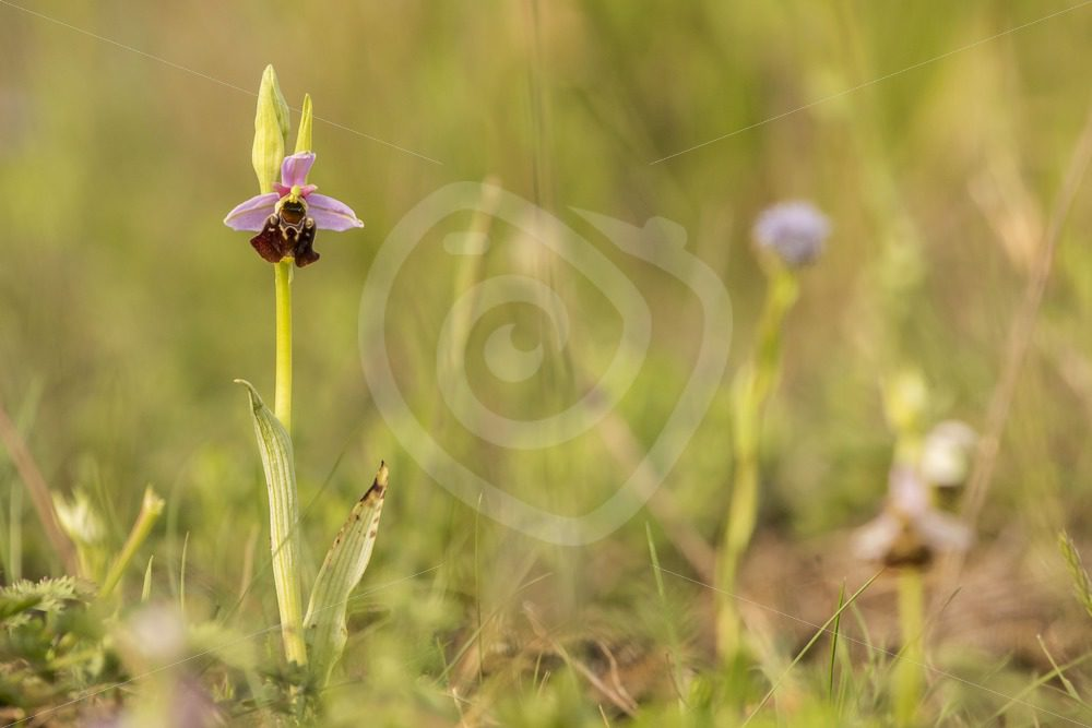 Pink bee orchid in the field - Nature Stock Photo Agency