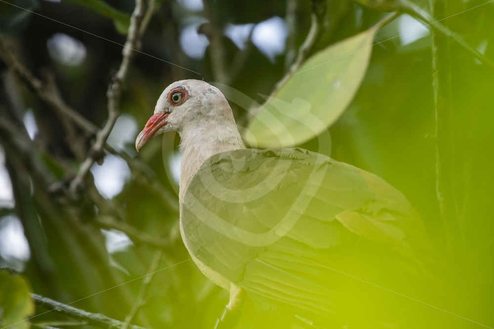 Pink pigeon seen through the leaves - Nature Stock Photo Agency