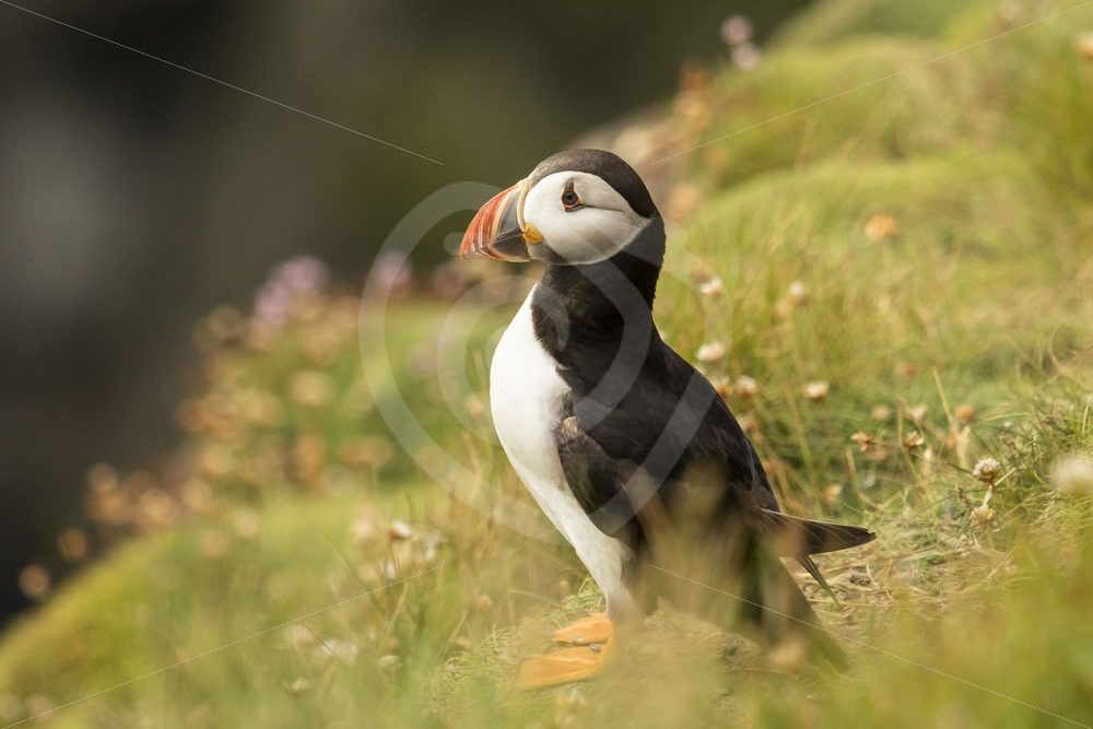 Puffin on Sumburgh rocks - Nature Stock Photo Agency