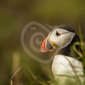 Puffin portrait - Nature Stock Photo Agency