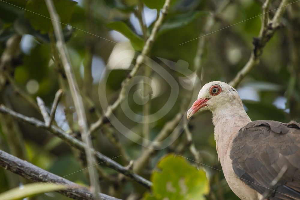 Rare pink pigeon on Ile Aux Egrettes - Nature Stock Photo Agency