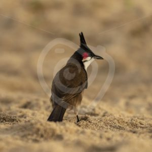 Red-whiskered Bulbul on sandy ground - Nature Stock Photo Agency