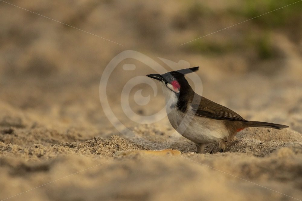 Red-whiskered Bulbul on the ground - Nature Stock Photo Agency