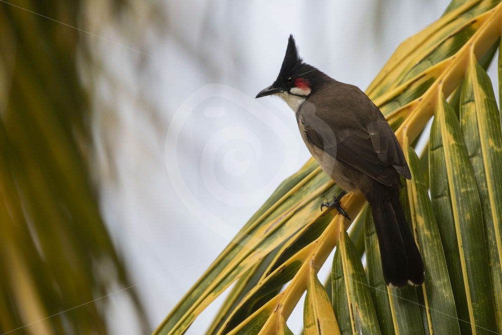 Red-whiskered Bulbul sitting on a palm tree leave - Nature Stock Photo Agency
