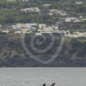 Risso's dolphins synchronized swimming - Nature Stock Photo Agency