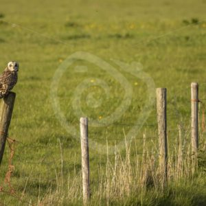 Short eared owl in the meadows - Nature Stock Photo Agency