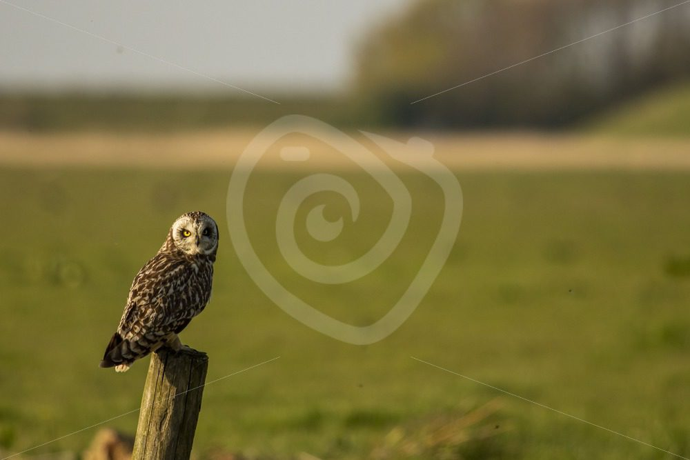 Short-eared owl on a fence - Nature Stock Photo Agency