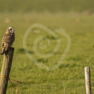 Short-eared owl on a pole overlooking the fields - Nature Stock Photo Agency